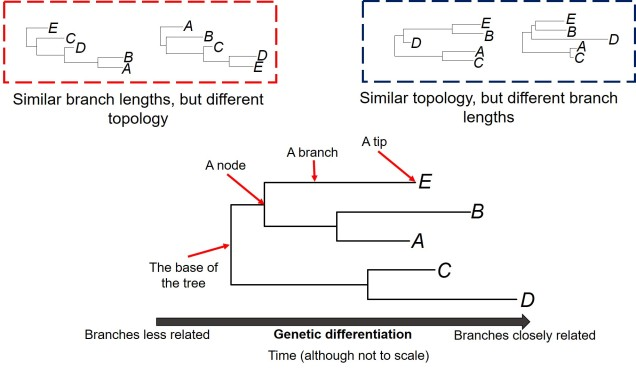 Anatomy of phylogenies.jpg