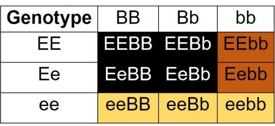 Labrador epistasis table