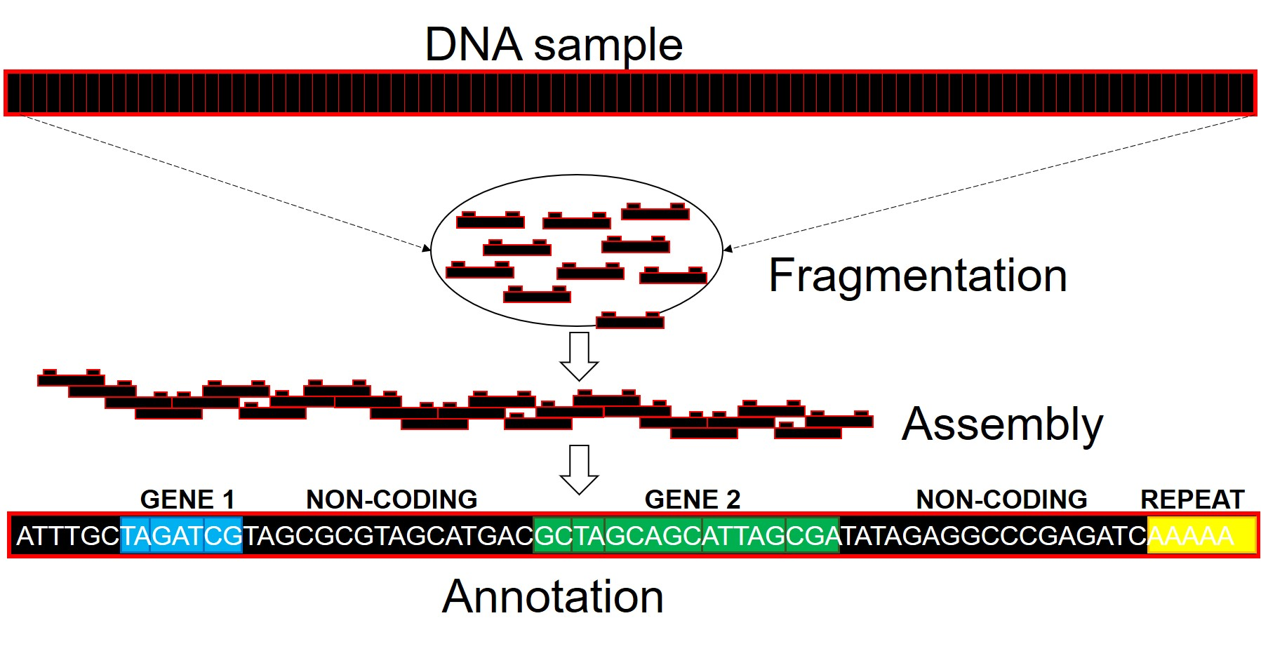 Whole genome assembly