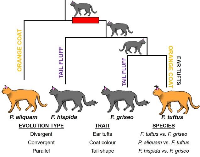 Cat phylogeny