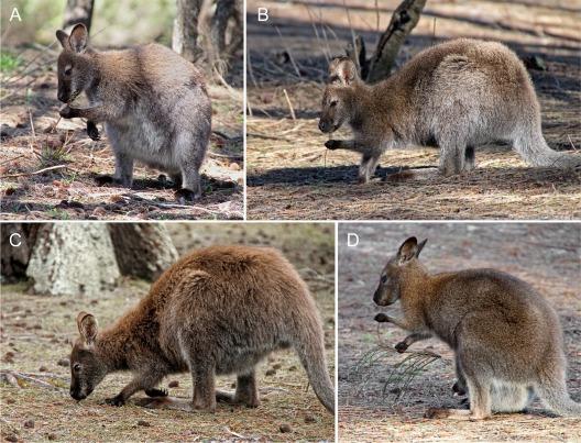 Marsupial handedness.jpg