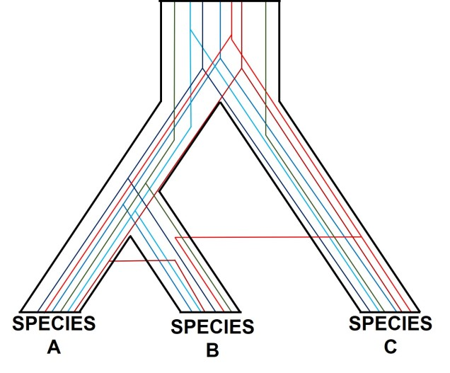 Gene tree incongruence figure