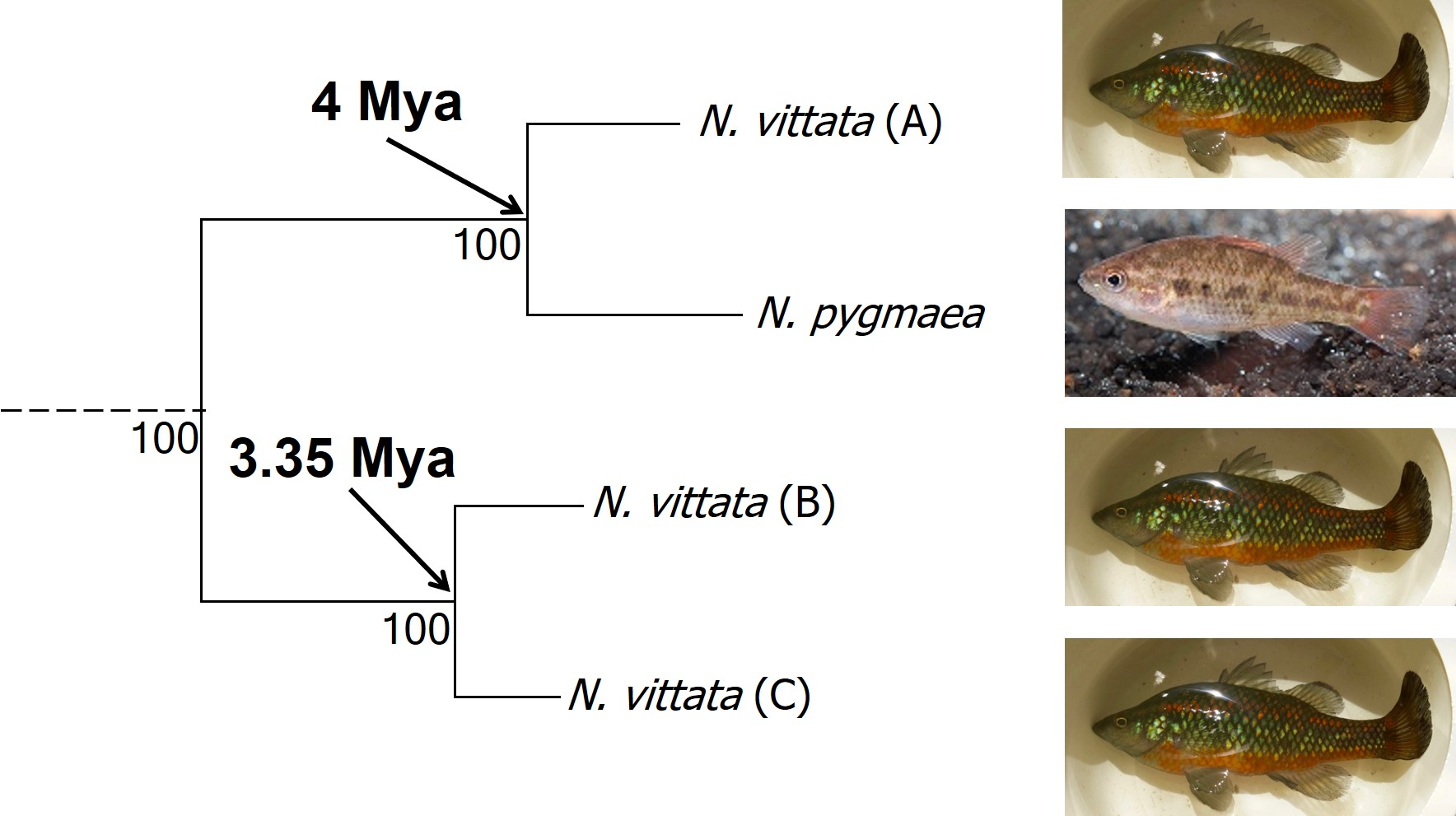 Vittata cryptic species