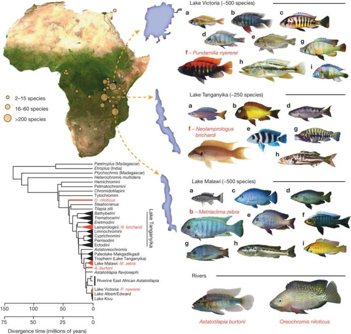 cichlid diversity figure