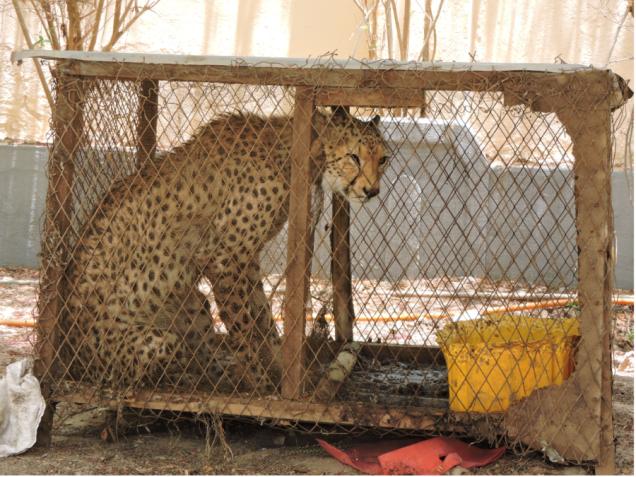 cheetahblog3-900x675.png