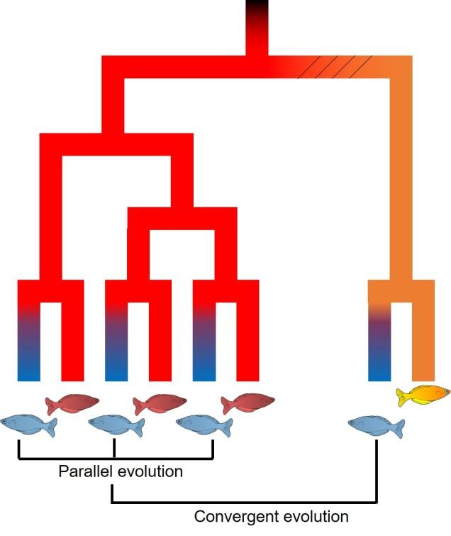 Converget vs parallel evolution figure