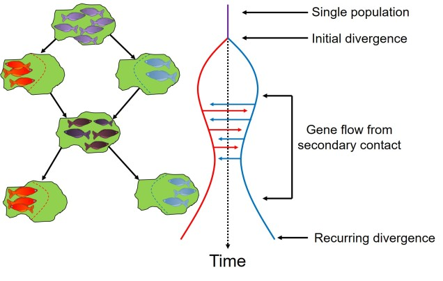 Gene flow vs divergence fish figure