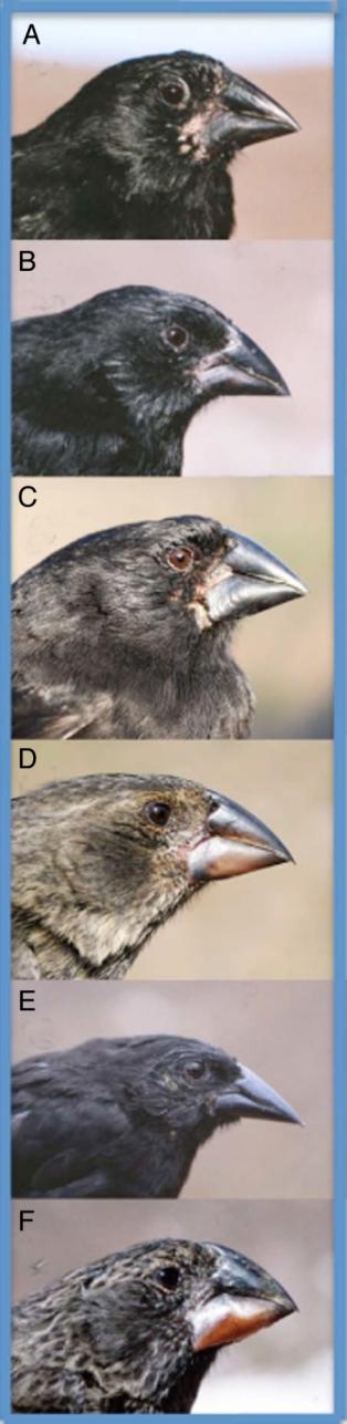 hybrid speciation darwins finches.jpg