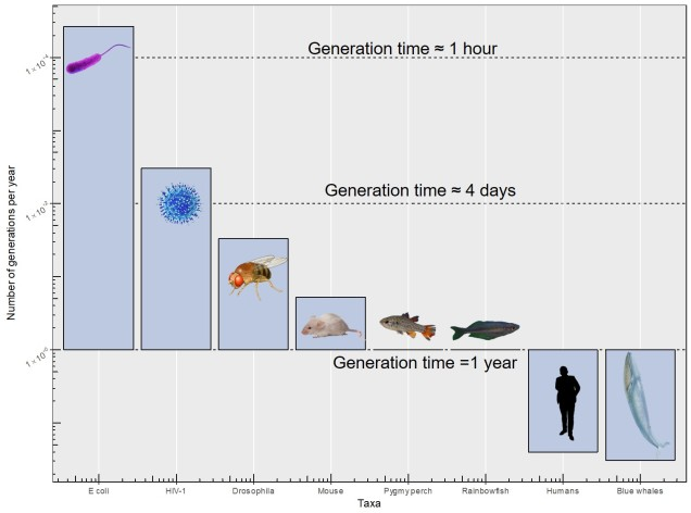 Variation in generation times