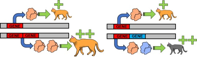 Evolution from duplicated genes figure