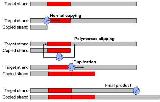 Process of duplication figure.jpg